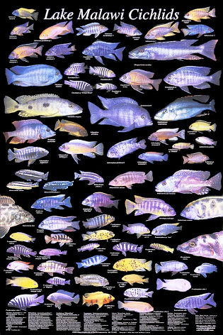 23 posters excellent condition for Lake malawi fish