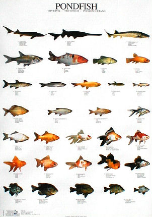Internet ghost towns taxidermy school fish posters and for Japanese koi names